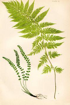 plate 12 ferns