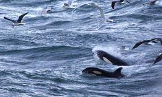 Orcas from the bridge at Grundarfjördur. #Iceland photos by kevin rushby