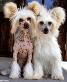 chinese crested dog (variété nue et variété houpette à poudre)