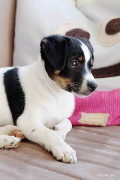 Meet Bølle - My parents' new puppy - Danish Swedish Farmdog   Mitzie Mee