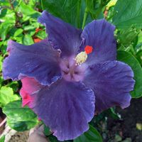 Moorea My Blue Pearl - Cutting Taiwan Hibiscus - Linda Lee Blue Hibiscus, Hibiscus Plant, Hibiscus Flowers, Exotic Flowers, Tropical Flowers, Purple Flowers, Beautiful Flowers, Hibiscus Rosa Sinensis, Growing Gardens