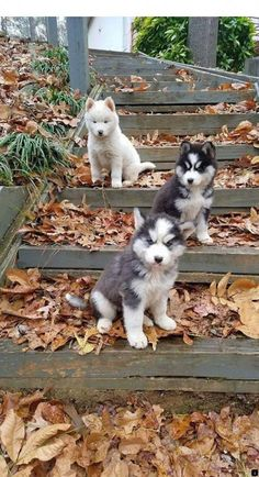 59 Ideas dogs and puppies husky pictures for 2019 Cute Husky Puppies, Siberian Husky Puppies, Rottweiler Puppies, Husky Puppy, Pyrenees Puppies, Siberian Huskies, Beautiful Dogs, Animals Beautiful, Husky Mignon