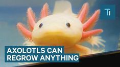 An Axolotl Is An Incredible Creature That Can Regenerate Its Brain And Heart - Tech Insider - @YouTube