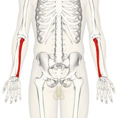 Ulna - anterior view