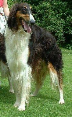 Borzoi. #animals #dogs #borzoi