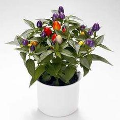 Cupsicum Twilight - potted chilli plant