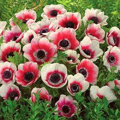 Anemone Bulbs Bi-Color, Anemone coronaria De Caen - Spring Bulbs from American Meadows $15.71