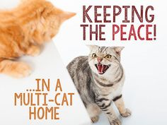 Cats are like potato chips – you can't have just one! So, how do you keep the peace with more than one curious, outspoken, opinionated, crazy cat all occupying the same space? It takes time, patience, training, understanding, and a bit of creative home décor to prevent feline turf wars.