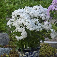 Get more color out of your perennials with this list of long blooming plants. Sun Garden, Balcony Garden, Garden Plants, White Flower Farm, White Flowers, Tall Phlox, Phlox Flowers, Blooming Plants, Planting Bulbs