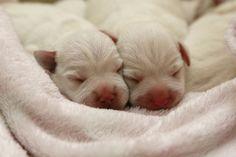 white mini schnauzer's newborn pups <3