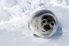 A beater harp seal pup on the ice in the Gulf of St. Lawrence, Canada The Canadian government has approved a total allowable catch of harp seals for the 2008 hunt. Harp Seal Pup, Baby Harp Seal, Baby Seal, Animals And Pets, Baby Animals, Cute Animals, Cute Seals, Funny Seals, Puppy Dog Eyes