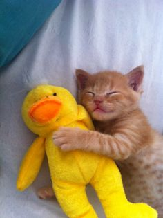 Baby kitten sleeping with his yellow duck animal friend. #sleeping