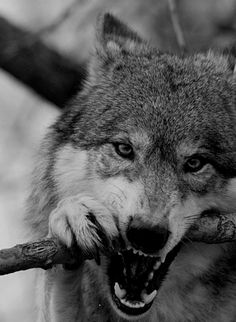 What we think of wolves decides what our heart is made of. If u love them u have a great heart