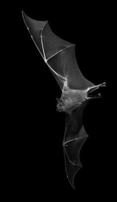 scary Bat creepy sky vintage horror black night animal dark darkness fly nightmares dark photography love animals and white black and white animal photography Dark Photography, Animal Photography, Horror Photography, Bastet, Animals And Pets, Cute Animals, Scary Bat, Bat Animal, Bat Flying