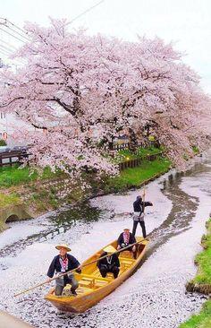 Navegando sobre las flores del cerezo