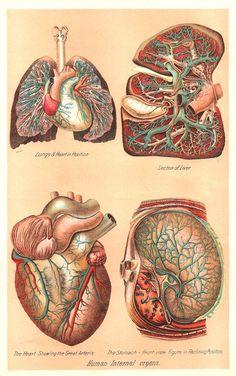 Antique Images: Vintage Medical Clip Art: Human Body Graphic of 4 Human Internal Organs