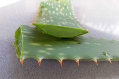 aloe vera anpflanzen die besten pflege tipps garten pinterest aloe vera pflanzen und. Black Bedroom Furniture Sets. Home Design Ideas