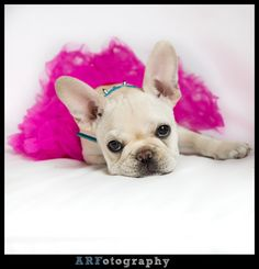 after searching for so long we might have found the next perfect dog for our little family :) French bulldog