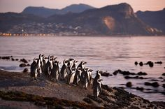 Jackass penguins in Betty's Bay - South Africa   marine life