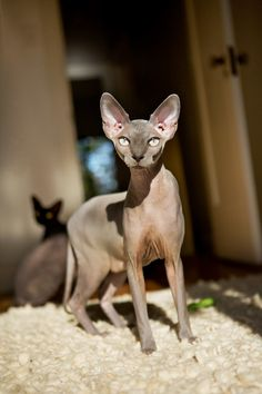 Sphynx by Christina Gandolfo