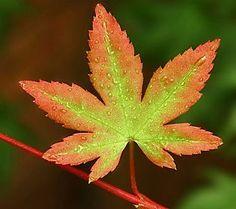 orange dream japanese maple