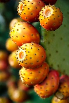 #puglia #fichi Prickly pears are a feature of any Puglia garden!