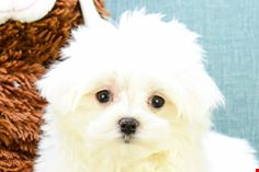 95 Best Dogs Images Teacup Puppies Little Puppies Small Puppies
