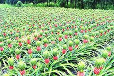 Health Benefits of Pineapple - Pineapple Plantation Farm