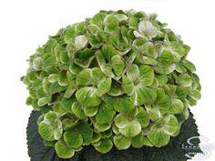 """Cut hydrangea flower """"Amathyst"""" (Green)"""