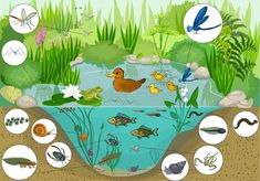 Illustration about Ecosystem of pond with inhabitants. Illustration of duck, bodies, cartoon - 60021241 Pond Life, Creative Kids, Book Illustration, Clipart, Habitats, Activities For Kids, Art For Kids, Literacy, Kids Rugs