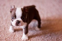 Another beautiful Boston Terrier pup.  Can you feel your heart melting??
