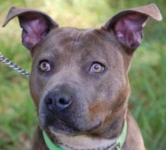 7 / 23    ***SENIOR*** Petango.com – Meet Theresa, a 9 years 6 months Terrier, Pit Bull available for adoption in BLOOMFIELD, CT Address  188 Rescue Lane, BLOOMFIELD, CT, 06002  Phone  (860) 519-1516  Website  http://www.thesimonfoundation. org  Email  Stephanie.Ferguson@thesimonfou ndation.org