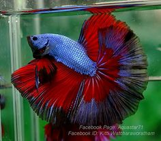 Flat Belly Smoothie, Betta Fish Care, Beta Fish, Underwater Life, Black Orchid, Colorful Fish, Freshwater Fish, Beautiful Creatures, Orchids