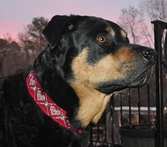 "Zander wearing Pet Necklace ""Hearts"" Design Dog Collar in Red with Black and White Thread"