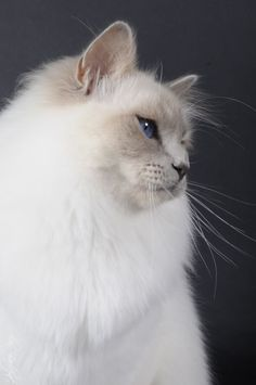 Looks like a Ragdoll.  My kitty Sabrina looked like this.