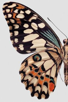 Butterfly illustration or painting / Collections of Objects / Collections of Things / Displaying / Vintage / Ideas / Nature / Antique Jolie Photo, Butterfly Wings, Butterfly Colors, Butterfly Print, Butterfly Pattern, Butterfly Background, Orange Butterfly, Butterfly Painting, Madame Butterfly