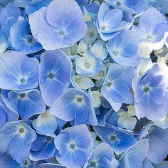 Blue Hydrangea macrophylla 'Bailmer' Endless Summer