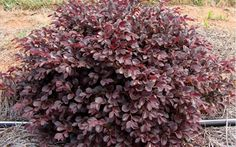 Crimson Fire is a dwarf Loropetalum with a dense, mounding form to 2-3 feet in height with an equal spread. The intense, burgundy-red foliage is a stunning contrast to the fragrant, hot-pink fringe flowers which smother the plant in spring. New growth in spring emerges ruby red maturing to burgundy with a purple cast. This is an easy to grow and well-behaved shrub that fits perfectly in smaller garden spaces and in containers.