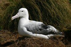 The royal albatross breeds on remote islands around New Zealand. This photo was taken on Campbell Island Endangered Species, Antarctica, Wild Birds, Photo Library, Love Birds, Wildlife, The Incredibles, Flocking, Islands