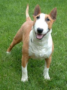 bull terrier puppy   Bull terrier castanho e branco.