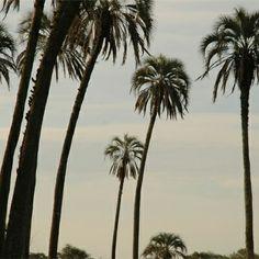 """En Entre Ríos se encuentra el último refugio de palmeras Yatay del mundo, alojando más de 250 especies de aves. Una parada obligatoria en tu recorrido por el Parque Nacional """"El Palmar""""."""