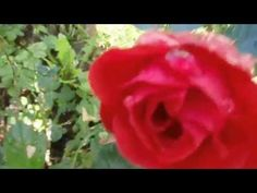 Rose in the rain - Deinsuppenhuhn