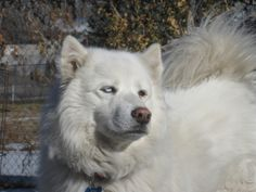 01/30/14 A'sa is a 2 year old male Samoyed.  He might be mixed with Siberian based on the one blue eye.  A'sa is friendly, good with kids, knows some obedience, and is house trained.  We are looking for a family that is active and will spend time with A'sa. ...