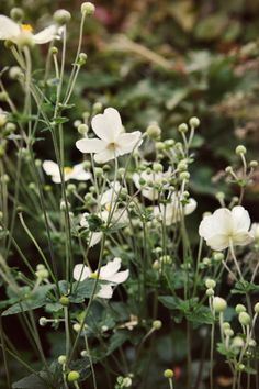 White flowers for the meadows