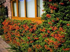 pyracantha firethorn at DuckDuckGo Hydrangeas For Sale, Double Knockout Roses, Smoke Tree, How To Attract Birds, Low Maintenance Garden, Japanese Maple, Red Berries, Drought Tolerant, Light Shades