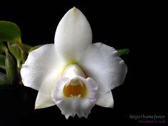 Mini-orquídea Laelia alaorii albescens