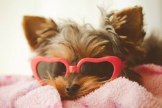 Yorkie with sunglasses
