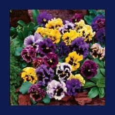 Zenfidan +-100 Adet Karışık Renk Hercai Menekşe Çiçeği Tohumu Paketli