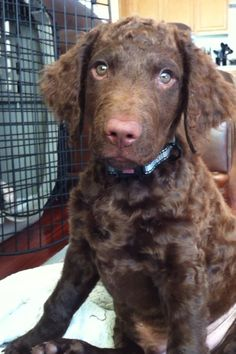 Jack, Curly Coated Retriever puppy