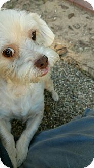 North Vancouver, BC - Lhasa Apso/Havanese Mix. Meet Prudence, a dog for adoption. http://www.adoptapet.com/pet/16983893-north-vancouver-british-columbia-lhasa-apso-mix